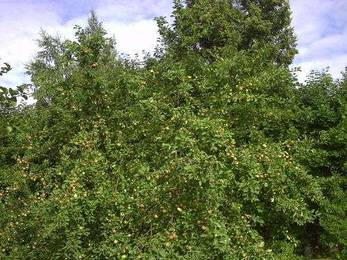 Фото 6.          Яблочный Спас. 2013 год
